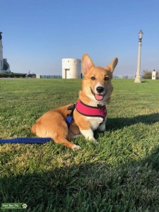 AKC male corgi looking to make puppy Listing Image