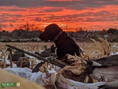 AKC Hunting Black Labrador Retriever Listing Image