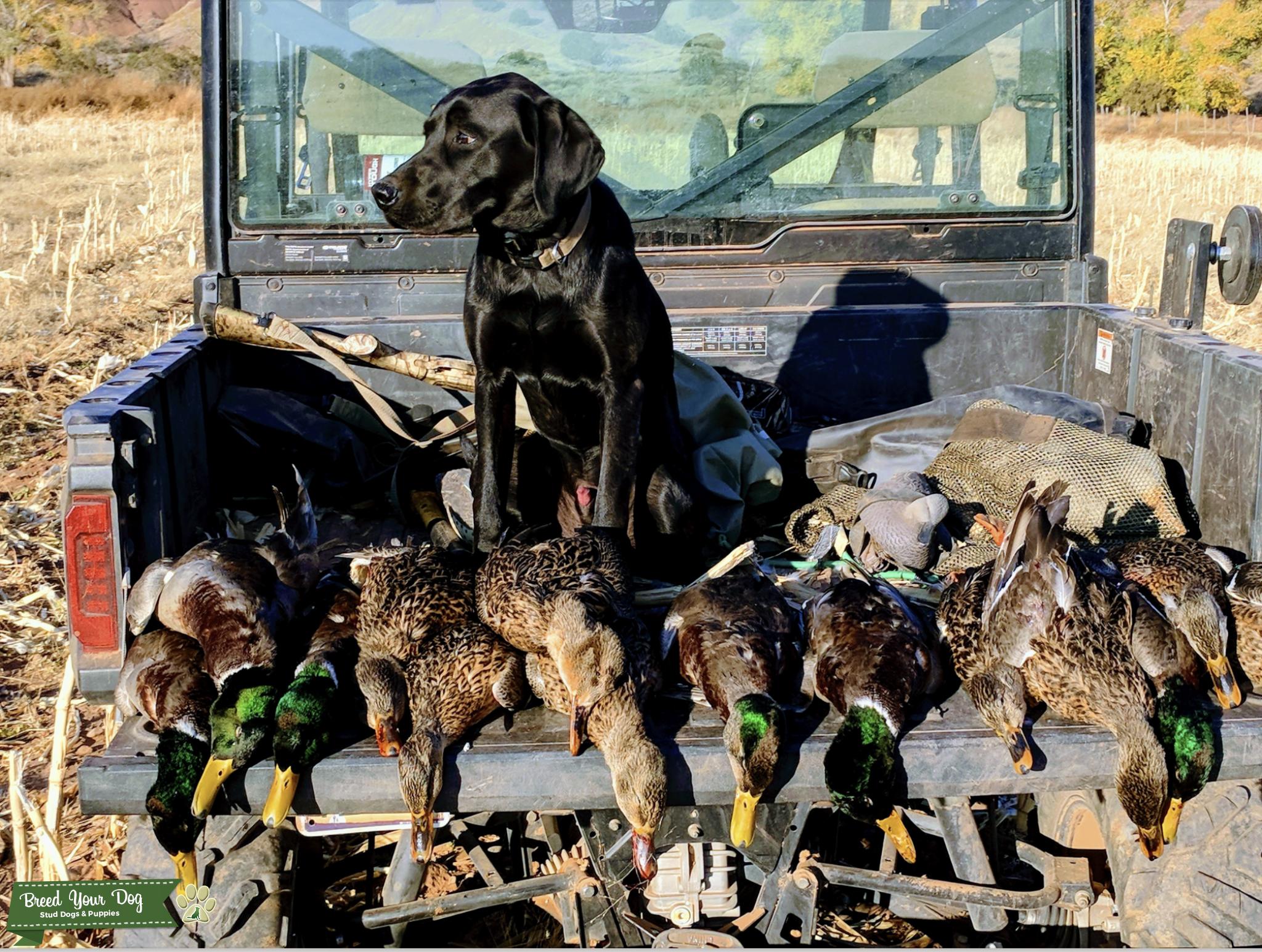AKC Hunting Black Labrador Retriever Listing Image Big