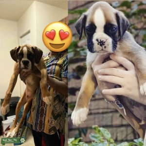 AKC Boxer %87 European Available Stud Listing Image