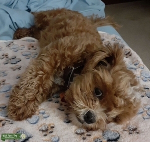 Apricot colored Shih poo  Listing Image
