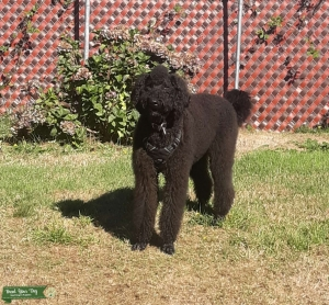 Serious Black airedoodle Listing Image
