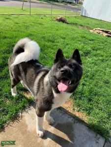 AKC American Akita / Black & White with a Silver Undercoat / Full Black Face Mack   Listing Image