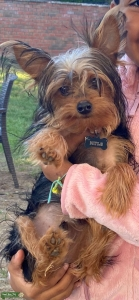 Male Purebred Yorkshire Terrier to Breed Listing Image