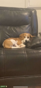 Lemon and White Stud Beagle  Listing Image