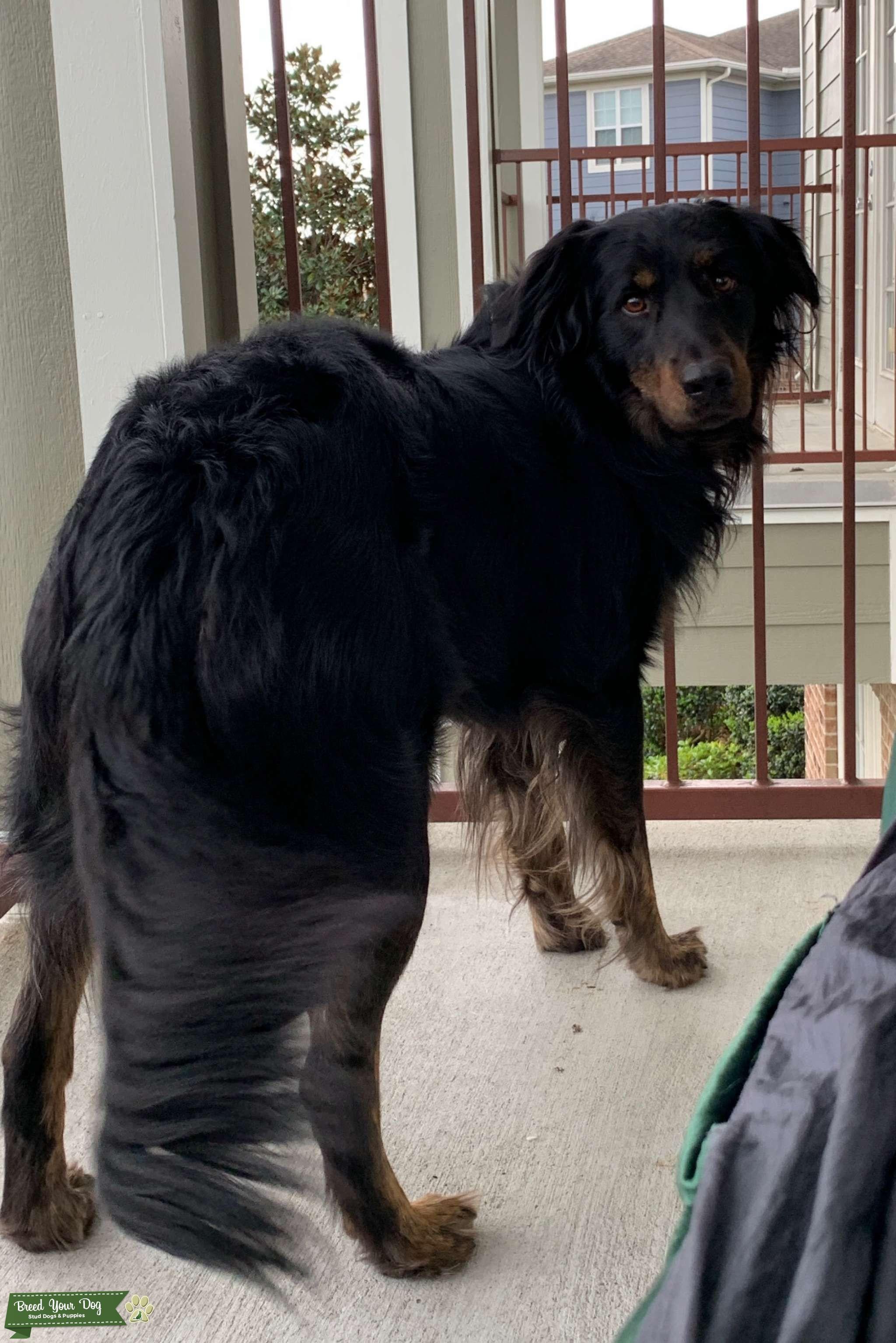 Australian Shepard/Black Labrador Mix Listing Image Big
