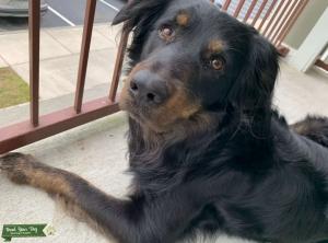 Australian Shepard/Black Labrador Mix Listing Image Thumbnail