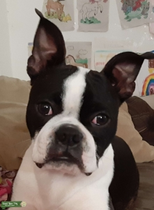 Boston Terrier male stud Listing Image
