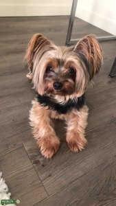 Male Yorkshire Terrier Needs Mate Listing Image