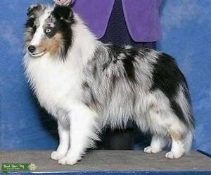 Shetland Sheepdog Blue Merle Listing Image