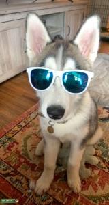 Handsome Siberian Husky Listing Image Thumbnail