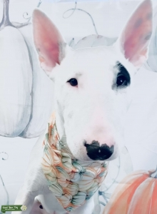 STUD Bull Terrier  Listing Image
