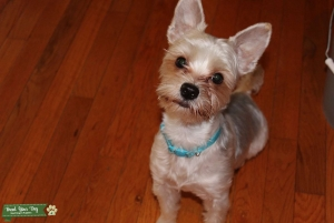 Parti Yorkshire Terrier looking for Girlfriend Listing Image