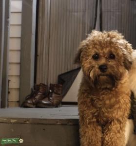 Shihpoo stud dog Listing Image
