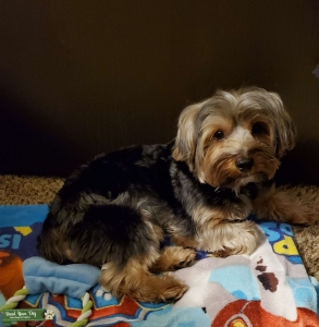 Male Stud Pure Yorkie looking for girlfriend  Listing Image