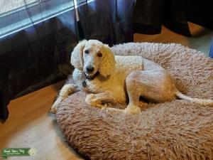 AKC White Standard Poodle Stud Listing Image