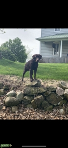 2 Year Old AKC Male Chocolate Lab Listing Image