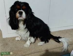 Young and Beauty Tri Cavalier for Stud Listing Image Thumbnail