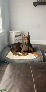 Red and rust female Doberman  Listing Image
