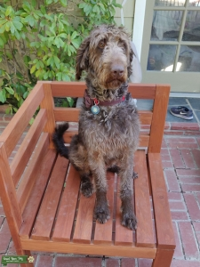 Large chocolate brown / silver labradoodle Listing Image