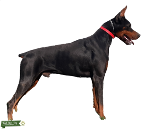 Euro Doberman - CH Pedigree - TESTED & CLEAN/CLEAR!! Listing Image
