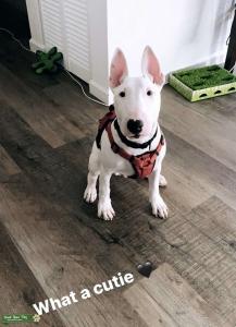 Bull Terrier ( Milo )  Listing Image