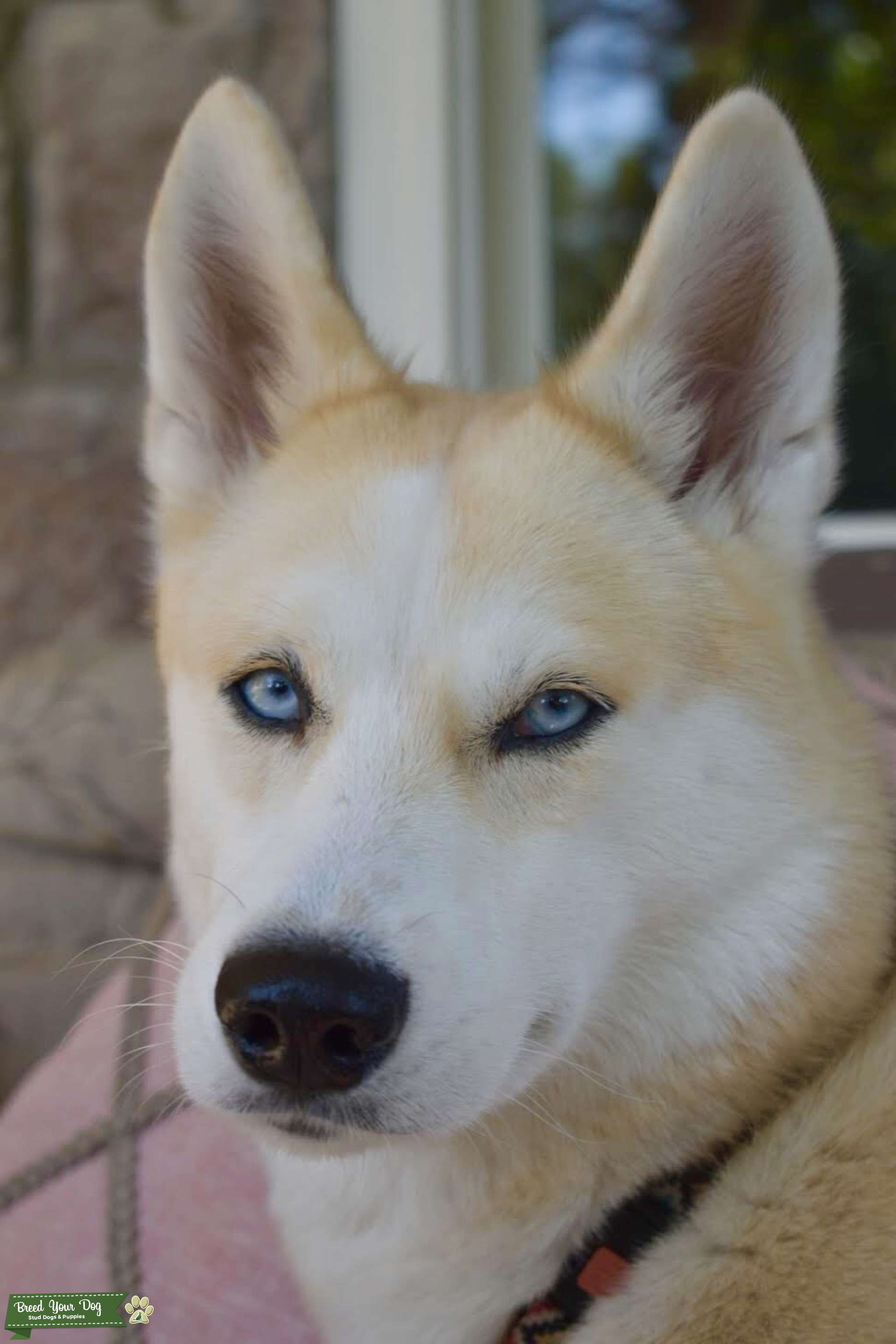 Almost two and looking for Siberian husky mate Listing Image Big