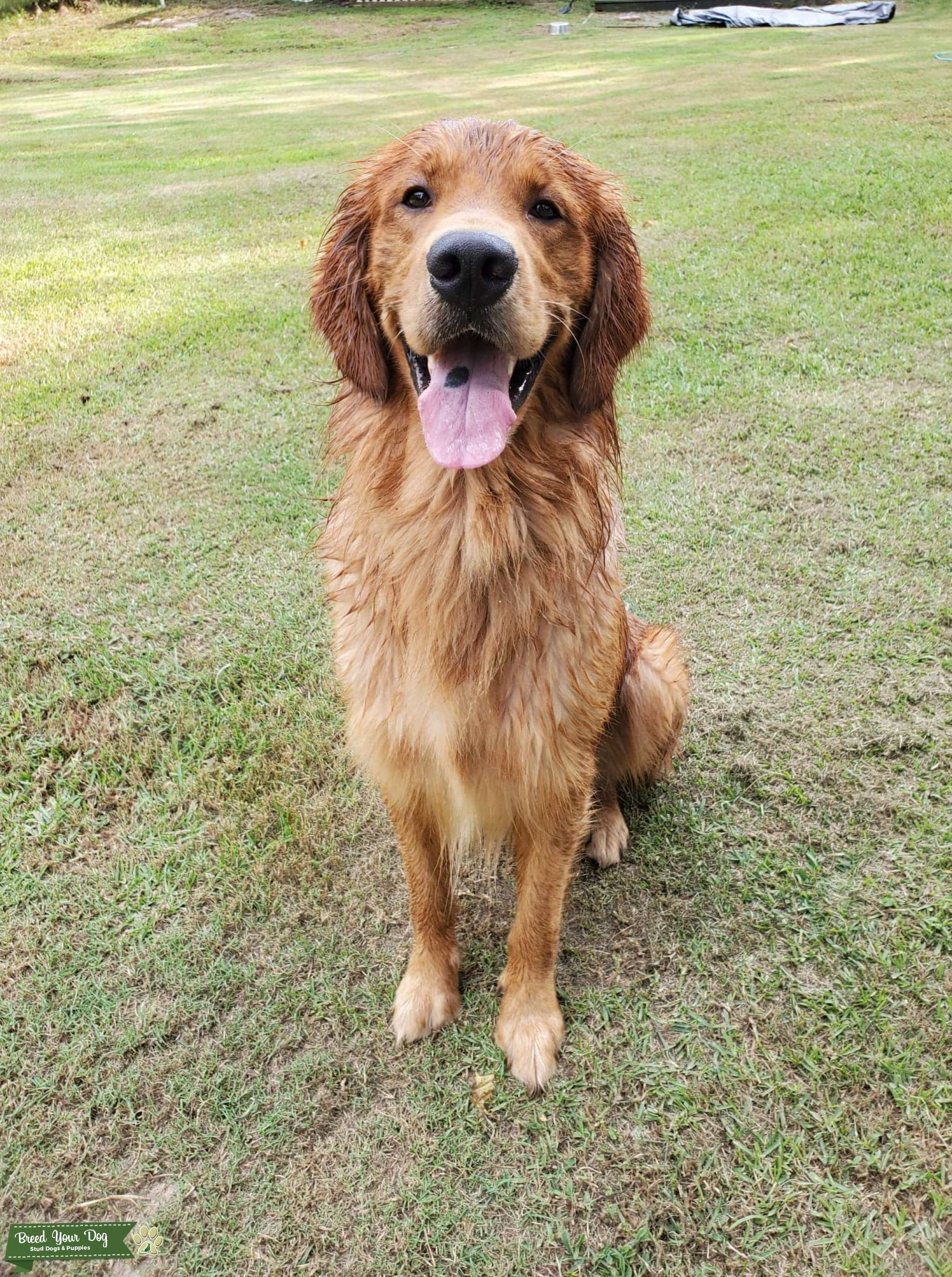 Beautiful AKC Golden Retriever Listing Image Big
