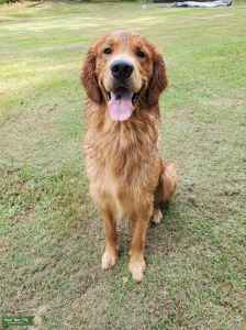 Beautiful AKC Golden Retriever Listing Image