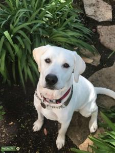 White Labrador Retriever  Listing Image