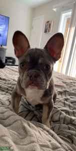 French Bulldog Stud Duke AKC Lilac & Tan Points carries cream Listing Image