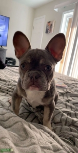 French Bulldog Stud Duke AKC Lilac & Tan Points carries cream Listing Image Thumbnail