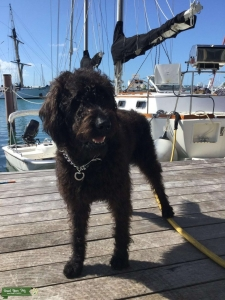 Black/brown F1 Labradoodle Male Listing Image
