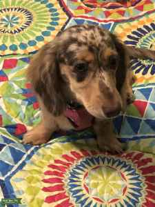 DAPPLE LONG HAIR MINI DACHSHUND Listing Image