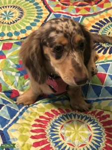 DAPPLE LONG HAIR MINI DACHSHUND Listing Image Thumbnail