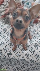 Black and tan chihuahua dachshund mix Listing Image