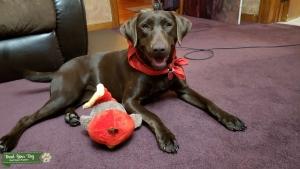 Chocolate Brown Labrador  Listing Image