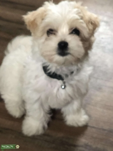 Havanese looking for toy poodle male  Listing Image
