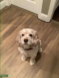 White and Tan Female American Cocker Spaniel Looking to Breed Listing Image