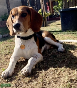Looking for female beagle Listing Image