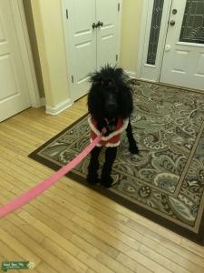 AKC Standard Poodle Listing Image