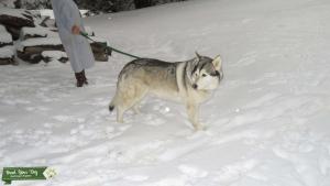 wolf hybrid Listing Image