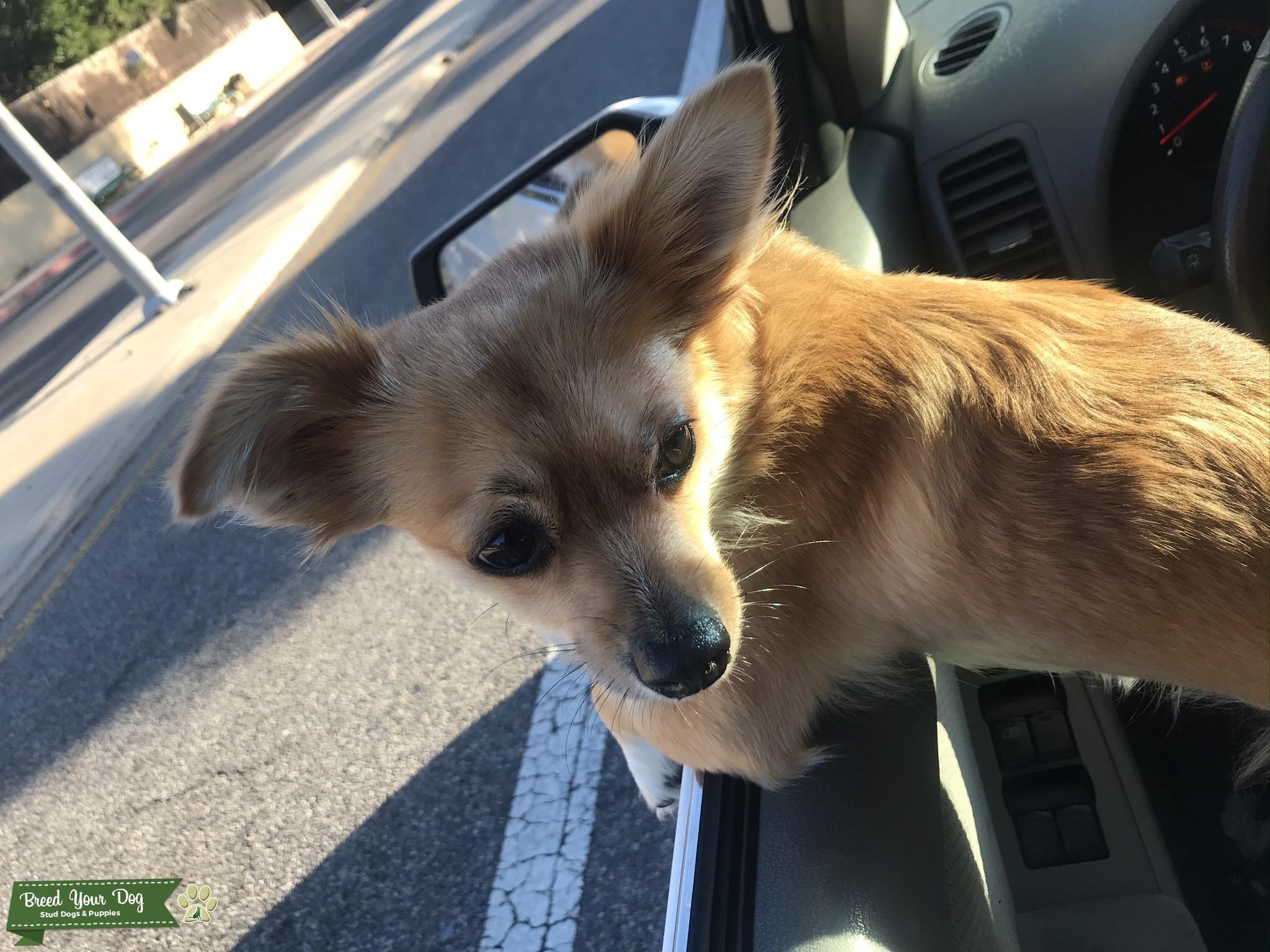 Chihuahua looking  Listing Image Big