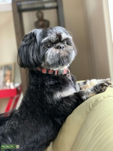 Black Happy Shih Tzu Listing Image