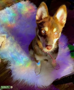 female pomsky looking for male pomsky Listing Image
