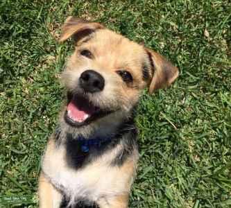 Beagle Mix  Listing Image