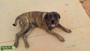 Akc English mastiff stud Listing Image
