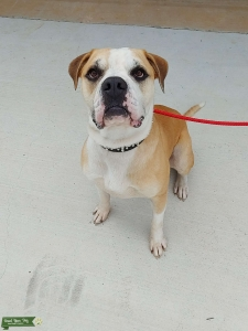 Male American Bulldog (white and fawn) Listing Image