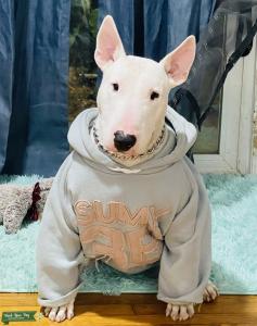 White Purebred Bull Terrier   Listing Image
