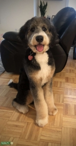 Handsome Bernedoodle Looking to Stud Listing Image